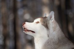 Stoned and free Siberian Husky dog sitting on the snow in the fairy forest in winter. Profile Portrait of stoned, beautiful and free Siberian Husky dog sitting royalty free stock photos