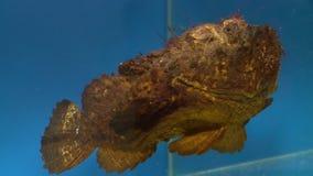 Stonefish στο ενυδρείο απόθεμα βίντεο