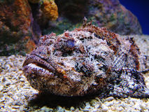 Stonefish. A stonefish laying in the gravel royalty free stock image