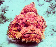 Stonefish Royalty-vrije Stock Foto