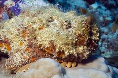 Stonefish Στοκ Φωτογραφία