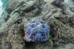 Stonefish Royalty-vrije Stock Foto's