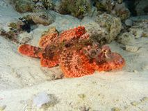 stonefish Image stock