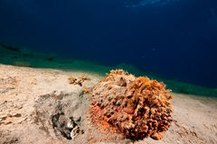 Stonefish Royalty Free Stock Photography