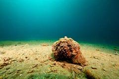 Stonefish foto de archivo libre de regalías