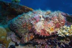 Stonefish auf einem Lieferungswrack Lizenzfreie Stockfotografie