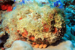 Stonefish Stock Photography