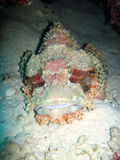 Stonefish royalty free stock images