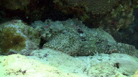 Stonefish on Coral Reef Royalty Free Stock Photos