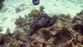 Stonefish on Coral Reef Stock Images
