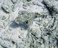 Stonefish de Bonaire Photo stock
