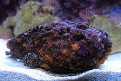 Stonefish do recife Imagem de Stock Royalty Free