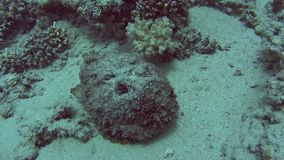 Stonefish grande en el mar tropical en el arrecife de coral almacen de video