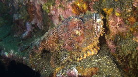 Stonefish lurks among rocks on seabed in blue sea. Amazing, beautiful underwater world Bali Indonesia and  life of its inhabitants, creatures and diving stock video footage