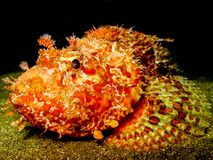 Stonefish nachts lizenzfreies stockbild