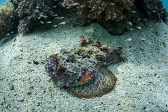 Stonefish Near Coral Reef Royalty Free Stock Images