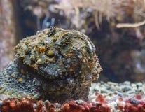 Stonefish portrait Stock Images