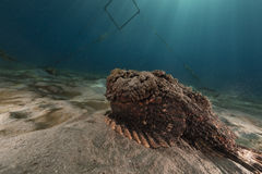 Stonefish (synanceia verrucosa) in the Red Sea. Royalty Free Stock Image