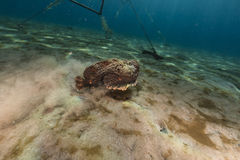 Stonefish (synanceia verrucosa) in the Red Sea. Royalty Free Stock Photography