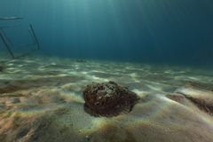 Stonefish (synanceia verrucosa) in the Red Sea. Stock Photography