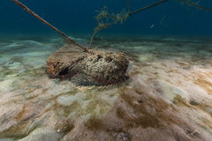 Stonefish (synanceia verrucosa) in the Red Sea. Stock Images