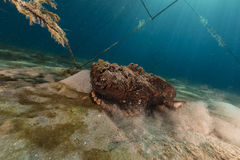 Stonefish (synanceia verrucosa) in the Red Sea. Royalty Free Stock Photo