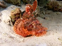 Stonefish on the reef stock photography