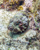 Stonefish Stock Image