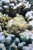 stonefish synanceia verrucosa Obraz Royalty Free