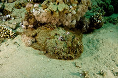 Stonefish (synanceia verrucosa). Taken in Middle Garden Stock Photo