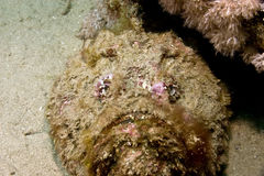 Stonefish (synanceia verrucosa). Taken in Middle Garden Stock Image