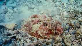 A Stonefish Synanceia verrucosa camouflages itself in sand, Papua Niugini, Indonesia stock photo