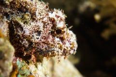 Stonefish tropical do recife dos peixes de água salgada Imagem de Stock Royalty Free