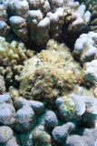 Stonefish (verrucosa Synanceia) Royalty-vrije Stock Afbeelding