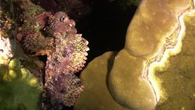 Stonefish on Vibrant Coral Reef stock video footage