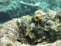 Stonefish in wait Stock Images