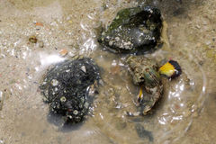 Stonefish with yellow fin in shallow sea waters. Near the beach stock image