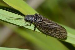 stoneflies plecoptera Στοκ Φωτογραφίες