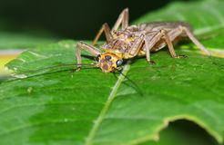 Stonefly Stock Images