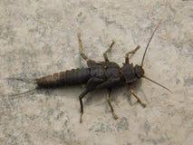 Stonefly géant Photo libre de droits