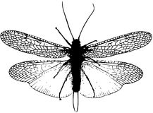 Stonefly insect silhouette fly fishing portrait Royalty Free Stock Photography