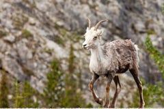 Stonei en pierre femelle de marche de dalli d'Ovis de moutons Photo libre de droits