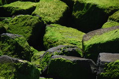 Stones with algae Stock Image