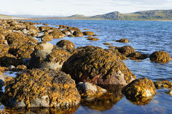 Stones with brown algae at seacoast Stock Photography