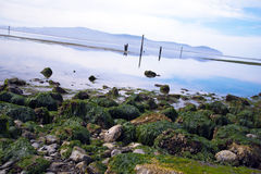 Stones covered  green algae on shore of Gulf Pacific Ocean Stock Photography