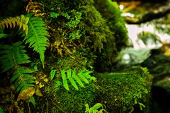 Stones covered with green moss and fern in forest of New Zealand royalty free stock images
