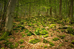 Stones Covered by Moss. Stones Covered by Bryophyte in Forest Stock Image