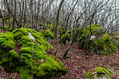 Stones covered with moss. In forest in winter Royalty Free Stock Image