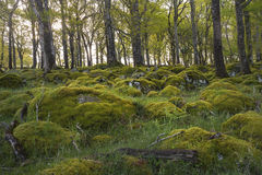Stones covered with moss in vibrant green forest. Walking thorugh beautiful irish forest walking the wicklow way royalty free stock photography