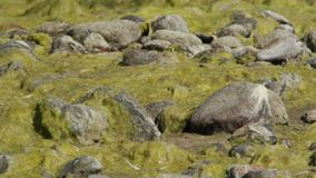 Stones in the duckweed. Near the lake stock video footage